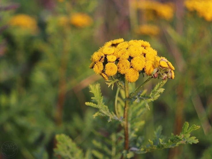 Tansy / Wrotycz pospolity (Tanacetum vulgare L.)