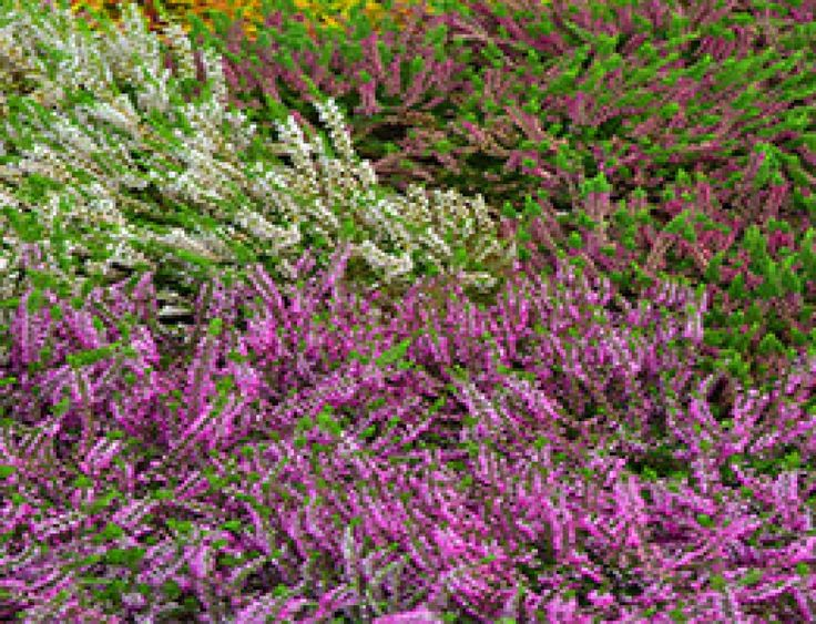 HTA Plant of the Month, February – Heather