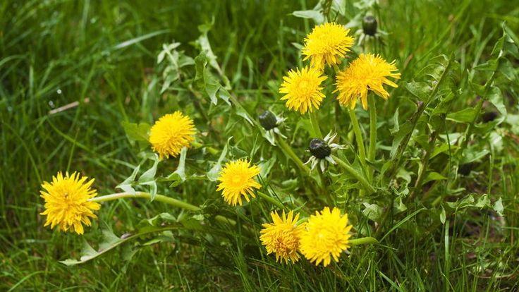 Mniszek lekarski - właściwości, zastosowanie korzenia, liści i kwiatów