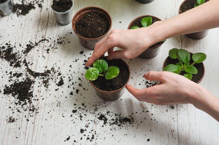 Comment cultiver ses plantes aromatiques à l'intérieurnoté 2.3 - 3 votes Les plantes aromatiques sont souvent l'arme magique des amoureux de la cuisine. Non seulement elles ont le don de donner une grande variété de saveurs à nos plats, mais elles sont aussi très bonnes pour la santé. Si vous êtes un grand consommateur de …