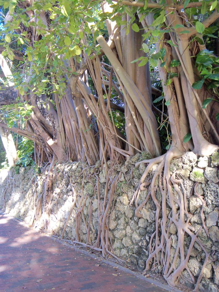 Walking Trees in Coconut Grove   Miami Daily Photo
