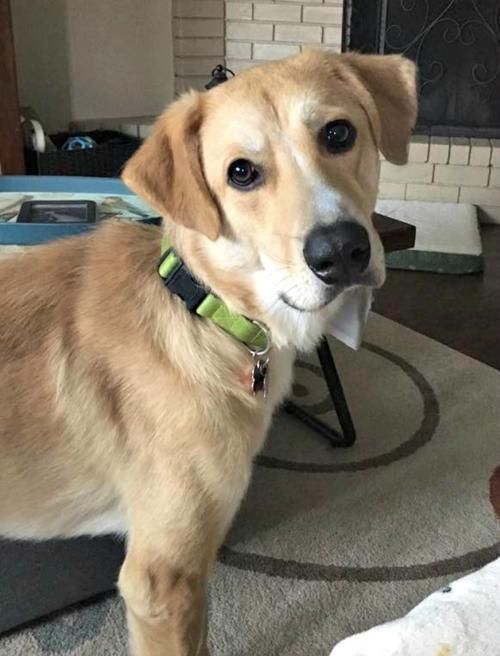 This is Roy (#0587) a 3 yr old Golden/Lab mix. He came to rescue covered in bites to his legs, and ears and underweight. He is being treated and then will go into foster.Golden Retriever Rescue Alliance Fort Worth, TX. - Donate : https://grralliance.org/donate/ - https://www.facebook.com/pg/GRRALL/photos/?tab=album&album_id=381567788531798 - https://www.petfinder.com/petdetail/38310596