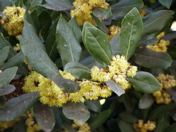 El laurel, árbol significativo