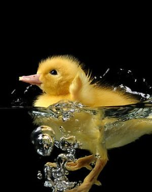 Duckling treading water.