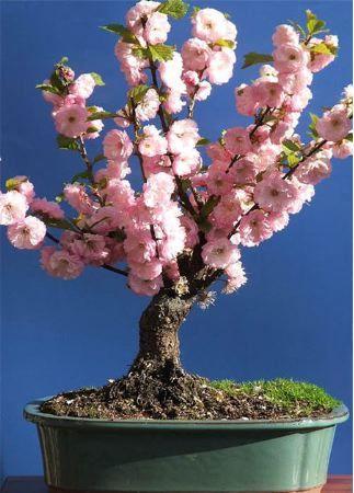 les 25 meilleures id es concernant prunus sur pinterest arbres de fleurs arbres roses et. Black Bedroom Furniture Sets. Home Design Ideas