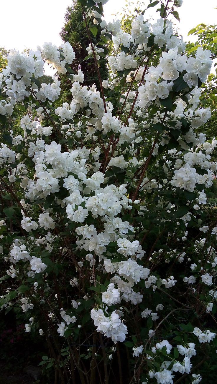 jaśminowiec=podwojne kwiaty