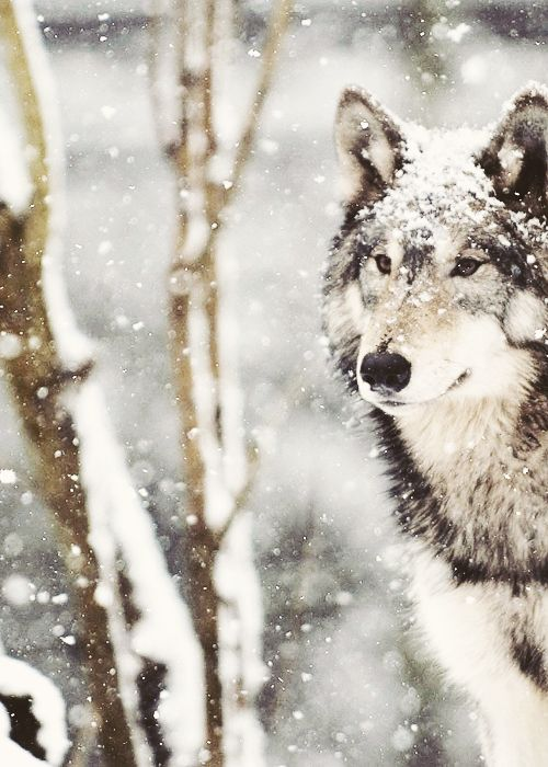 ☆ White Christmas Wonderland ☆  wolf in the snow