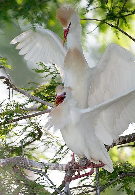Cattle Egrets St. Augustine Alligator Farm, St. Augustine, FL