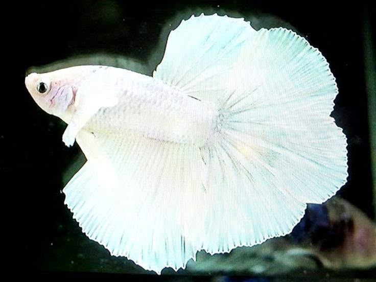 Live betta fish imported white marble true dumbo big ears for Big betta fish