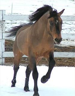 A Brown Dunskin is a horse with a base color of brown (At), with at least one dun gene and one cream gene. They would be expected to be lighter than a horse with just the dun gene, but because shades of brown can vary from dark bay looking to nearly black looking, shades of brown dunskins can also vary.