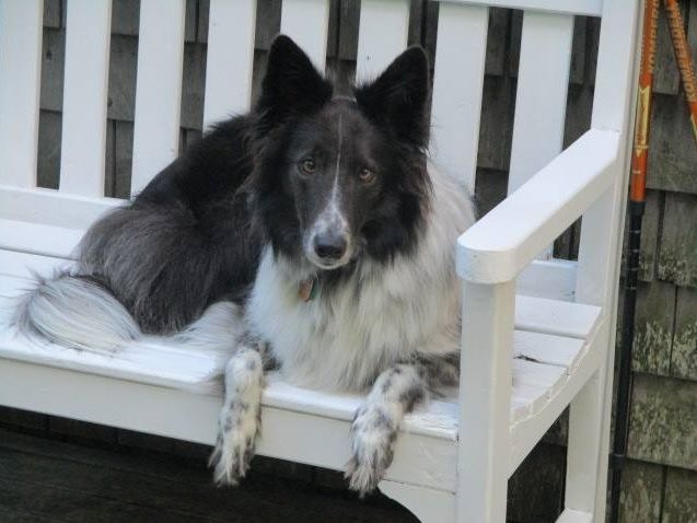 Old Time Scotch Collie - Emma