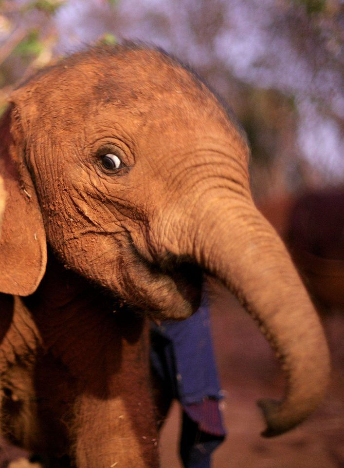 The David Sheldrick Wildlife Trust - This fun loving elephant was just 3-months-old when we rescued her. Suguta was found wandering alone in Maralal desperately following anyone she could find for reassurance and comfort. Eight years on and Suguta is now happily living wild in Tsavo National Park!