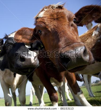 dutch cow in detail with blue sky by Rob Bouwman, via ShutterStock