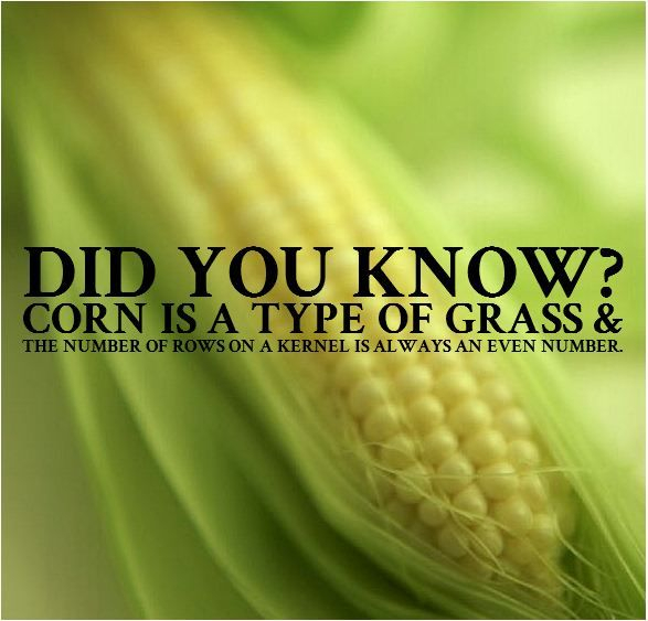 Yes, corn is a type of grass! One heck of a grass. It is also a C4 plant which means it is more efficient when it comes to the photosynthetic process.