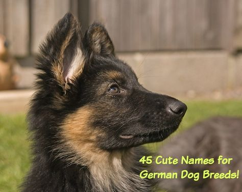 Meaningful names for male and female German Shepherd puppies and dogs from history, the military, the arts and sciences.  Also great names for powerful German breeds such as the Doberman & Rottweiller