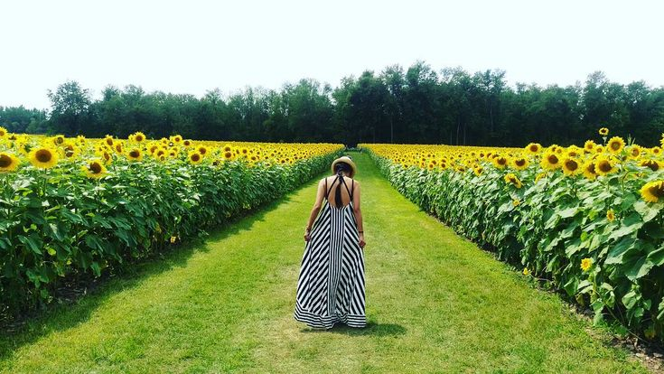 Over 75 acres of sunflowers!
