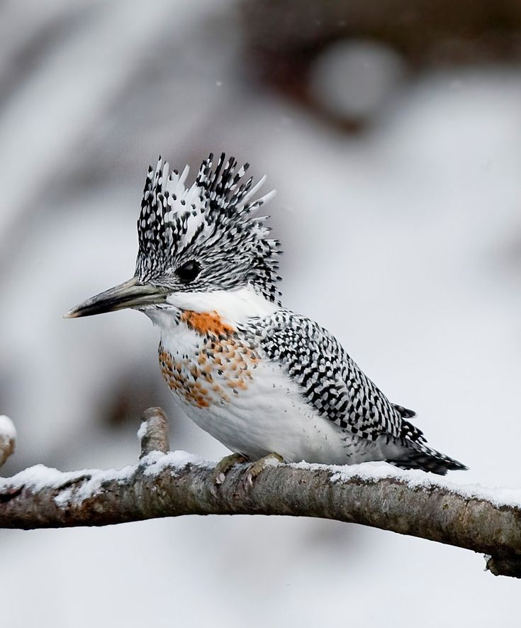 The crested kingfisher (Megaceryle lugubris) is a very large kingfisher that is native to parts of southern Asia, stretching eastwards from the Indian Subcontinent towards Japan.