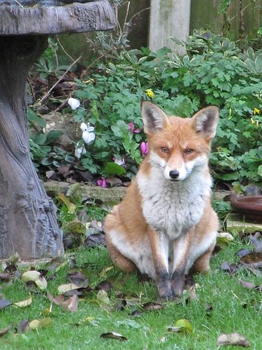 Fat Foxes 83