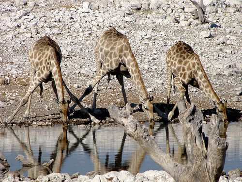 """Thirsty?"" , giraffes, Namibia"