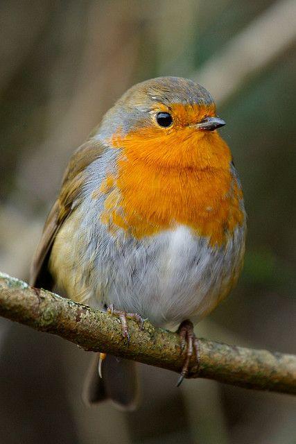 Erithacus rubecula / European Robin / Petirrojo europeo / Pisco-de-peito-ruivo…