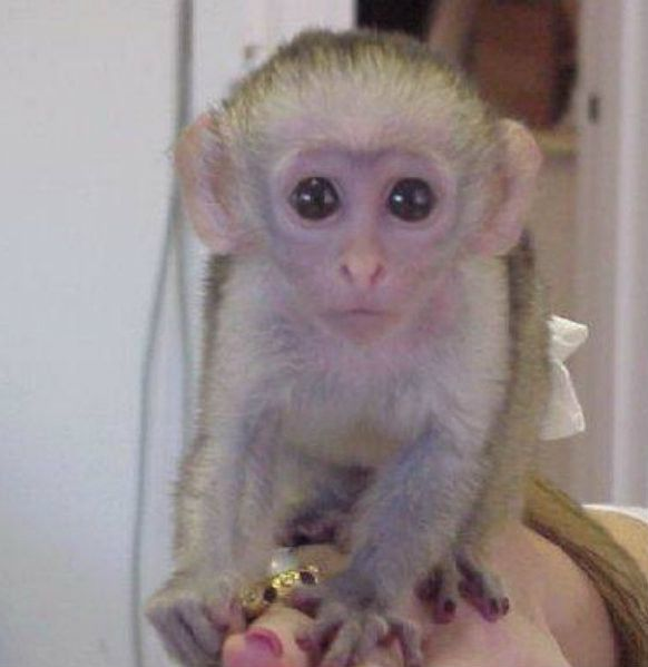 how to get a pet capuchin monkey