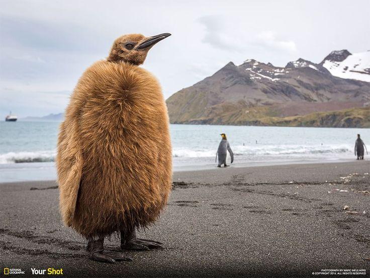 Pulcino di pinguino imperatore, South Georgia Fotografia di Marc Meijlaers