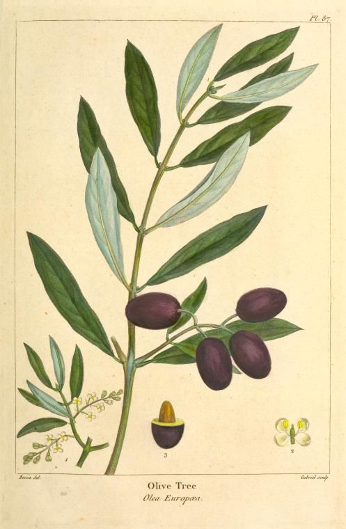 Olive Tree (Olea Europæa). Discover the olive oil cosmetics from the Riviera on www.varaldocosmetica.it