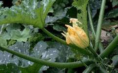 GardenGuides' Vegetable Guide for squash, including how to distinguish male and female flowers....