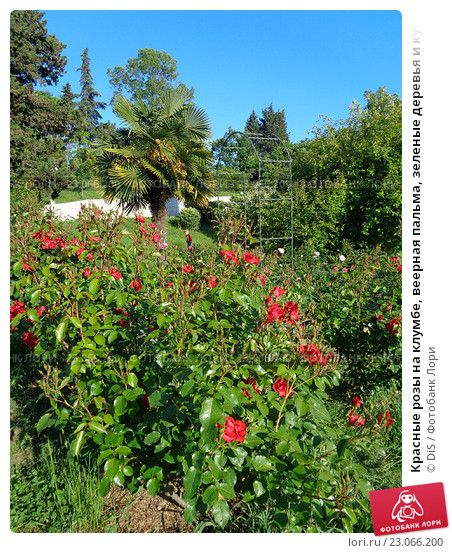 Красные розы на клумбе, веерная пальма, зеленые деревья и кустарник, парк Дендрарий, Сочи © DiS / Фотобанк Лори