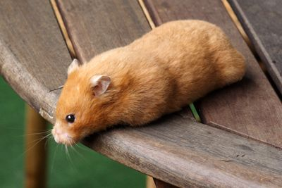Coper Syrian Hamster