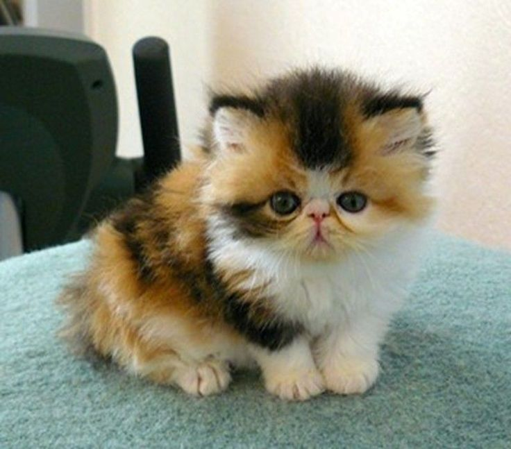 A fluffy, flat-faced, multi-colored kitten sitting on a carpet.
