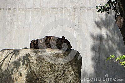 American Jaguar or Panthera Onca, resting inside the artificial jungle that it& x27;s its cage. Miranda& x27;s Park @ Caracas,Venezuela