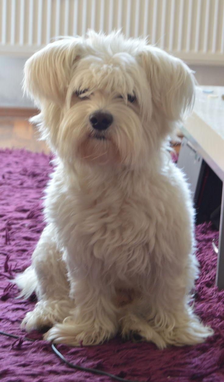 Max #white #cute #dog