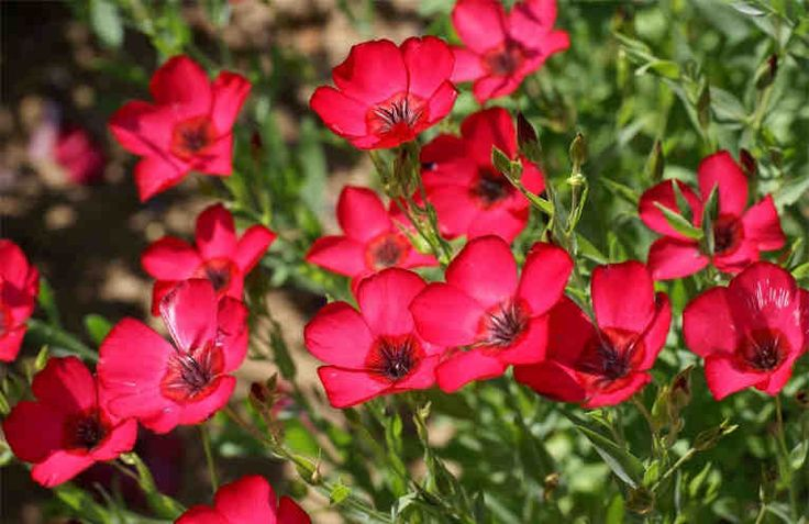 Какие многолетние растения цветут с начала и до конца лета