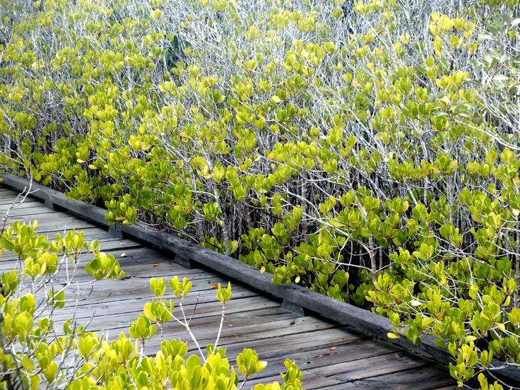 Noosa Mangrove Boardwalk at Weyba Creek in Noosaville, QLD