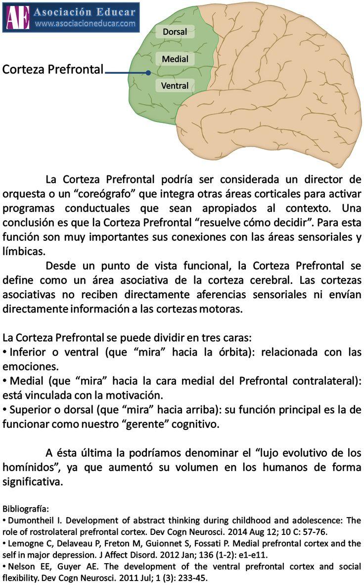 Infografía Neurociencias: Corteza Prefrontal | Asociación Educar