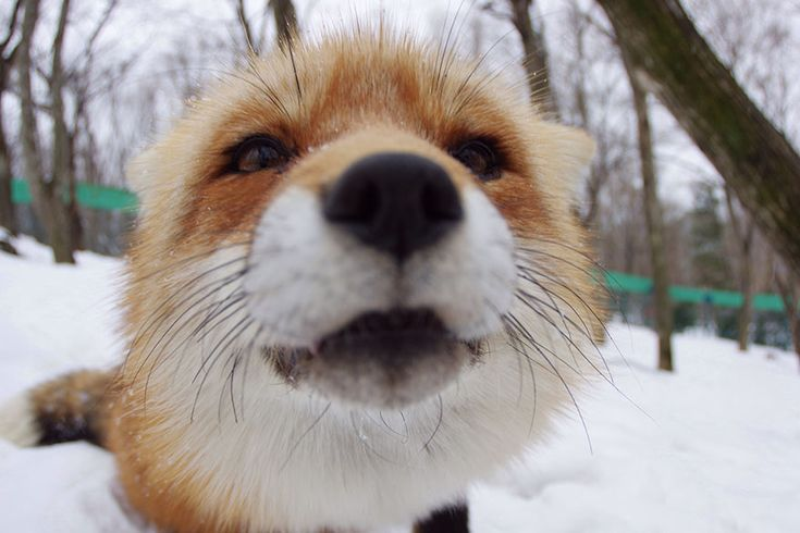 There's a fox farm in Japan, and it's all we can think about - Hello Giggles
