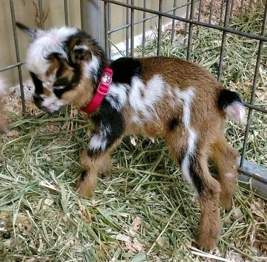 New African Pygmy Bottle Babies and Updated Miniature Goat Sales List