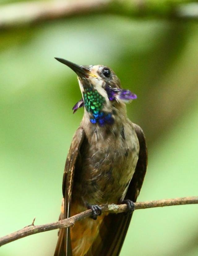 Colibrí pardo (Colibri delphinae) Vive all sur de Guatemala, Bolivia, Brasil y en la Isla Trinidad. Su hábitat suele ser los bosques altos cuando está anidando, se difunde ampliamente en las tierras bajas fuera del periodo de anidación.