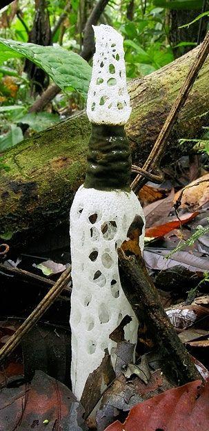 The Strangled Stinkhorn (Staheliomyces Cinctus), Amazonian Ecuador ~ © Jens H. Petersen