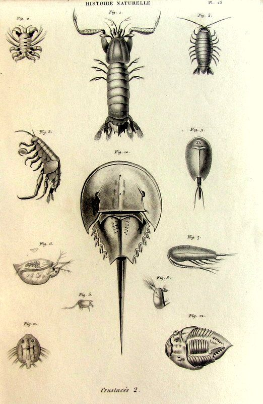 1852 Vintage french crustaceans engraving by zoetropeantiqueprint