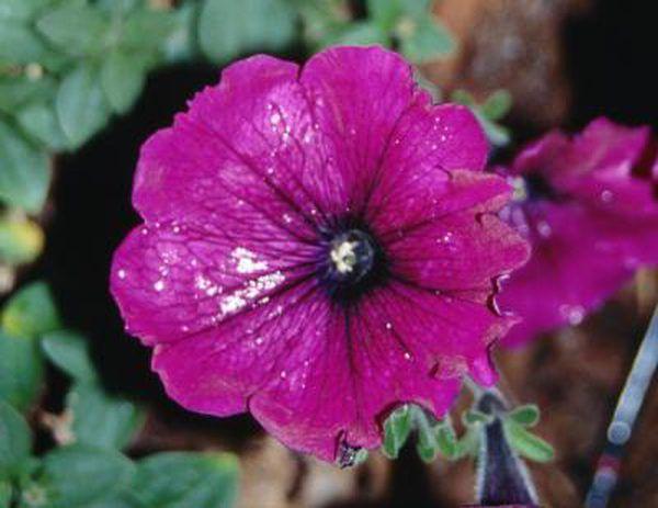 What Causes Holes In Petunia Blossoms Petunia Plant Petunia Diseases Petunias