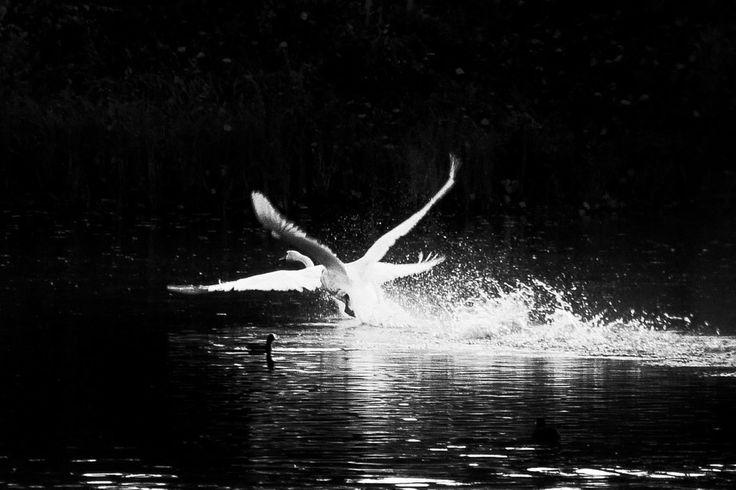 Swans Like