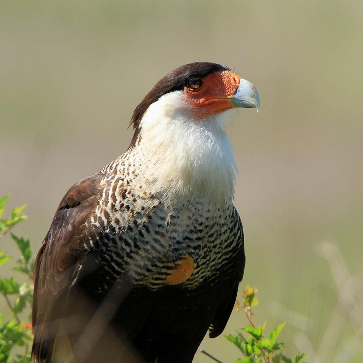 This crested caracara didn't have to undo its belt when it ate too much, its crop just distended out past its feathers making room for all that carrion.  Photo: John Magera/#USFWS #WildlifeRefuge #Birding #Wildlife
