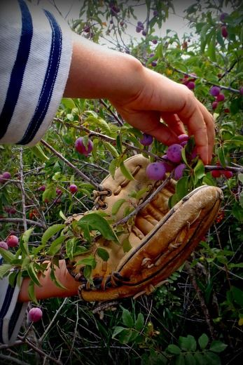 The Wild Plum Season | Wendy Petty Picking wild plums and plum ketchup recipe
