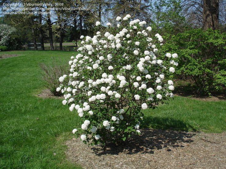 (Side of house directly behind Japanese maple) viburnum |Fragrant Snowball 'Cayuga'( Viburnum x carlcephalum
