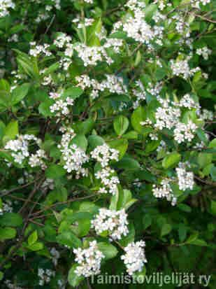 Aronia x prunifolia KORISTEARONIA Aroniat ovat terveitä aidannepensaita, joilla on syötävät marjat ja hieno punainen syysväri. Ne sietävät tiesuolaa, tuulta ja lumen painoa, mutta marjojen mehu voi tahrata esimerkiksi vaalean laatoituksen. Pensaat kannattaa sijoittaa kauemmas pihan oleskelualueista. Koristearonian marjat ja lehdet ovat pienemmät kuin marja-aronialla. Lehdistö: Kiiltävä, syksyllä useimmiten loistavan punainen. Kukinta: Valkoiset, miedosti pihlajalle tuoksuvat kukinnot…
