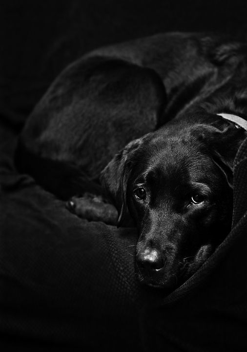The Black Lab by ~Delacorr