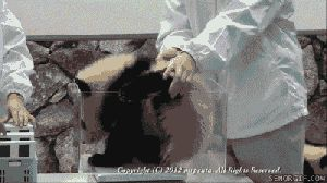 Animal Panda Information Animals Giff #6161 - Funny Panda Giffs  Funny Giffs  Panda Giffs