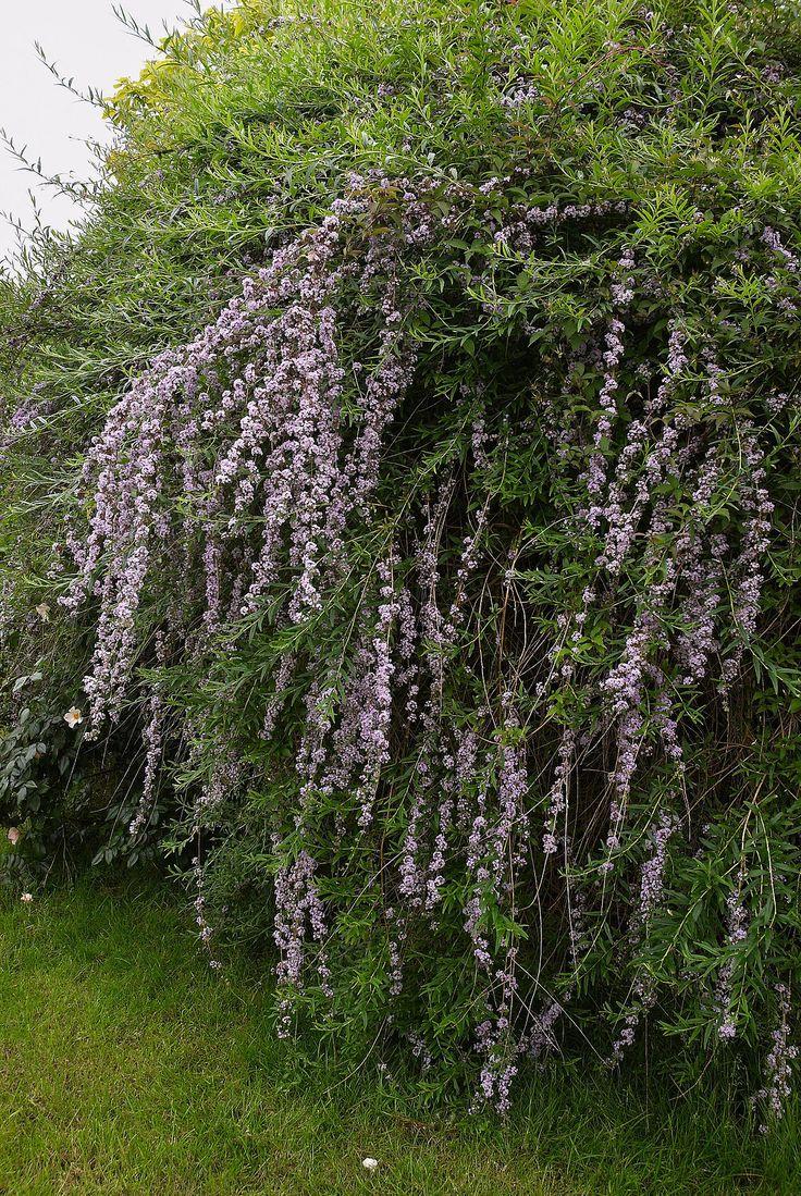 Buddleja alternifolia - Wikipedia